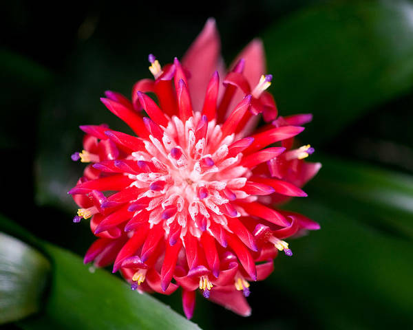 Bromeliad Poster featuring the photograph Bromeliad Bloom by Rich Franco