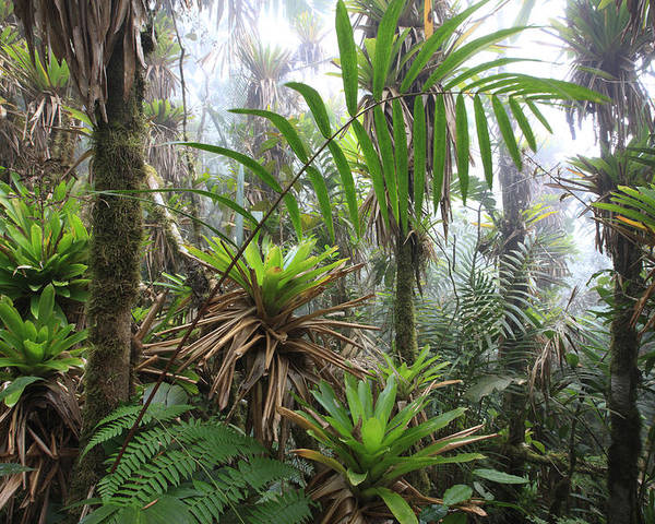 Mp Poster featuring the photograph Bromeliads And Tree Ferns by Cyril Ruoso
