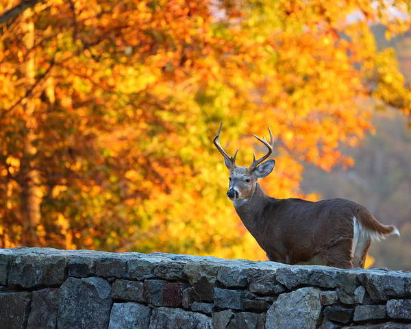 Metro Poster featuring the photograph Buck In The Fall 07 by Metro DC Photography