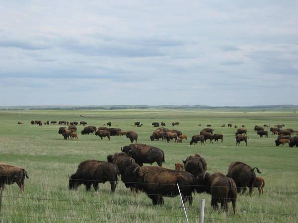 South Dakota Poster featuring the photograph Buffalo by Wayne Toutaint
