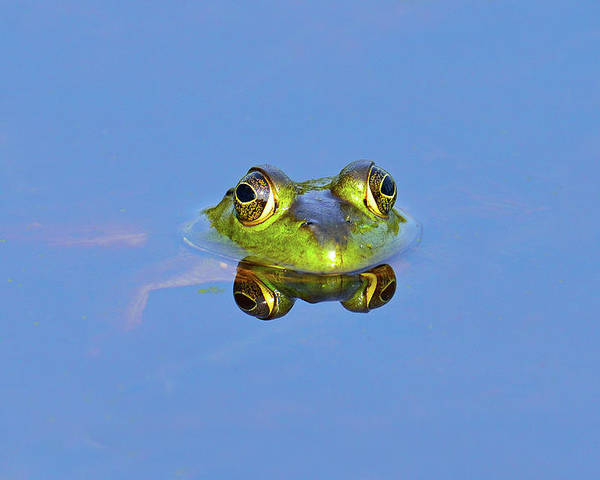 Horizontal Poster featuring the photograph Bullfrog by Brian E. Kushner