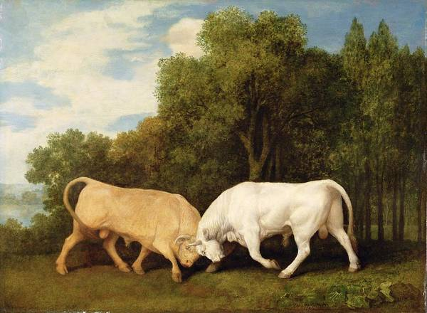 Xyc123111 Poster featuring the photograph Bulls Fighting by George Stubbs