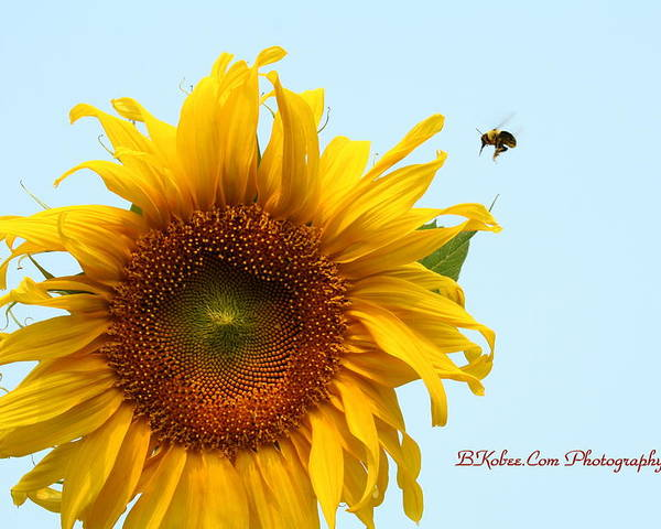 Bumble Bee Poster featuring the photograph Bumble Bees Love Sunflowers by Beverly Kobee