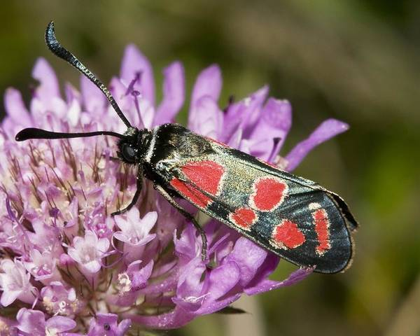Burnet Moth Poster featuring the photograph Burnet Moth by Paul Harcourt Davies