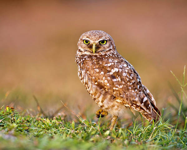 Horizontal Poster featuring the photograph Burrowing Owl by TNWA Photography