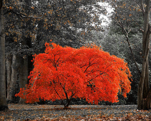 Autumn Poster featuring the photograph Bush On Fire by David Resnikoff