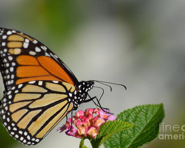 Butterfly Poster featuring the photograph Butterfly by Janie North