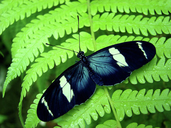 Horizontal Poster featuring the photograph Butterfly On Leaf. by Kryssia Campos
