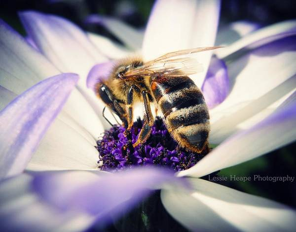 Senetti Poster featuring the photograph Buzz Wee Bees by Lessie Heape