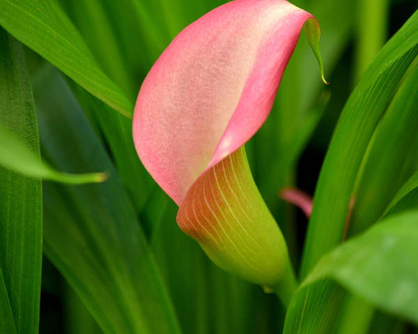Calla Lilly Poster featuring the photograph Calla Lily Rising by Fraida Gutovich