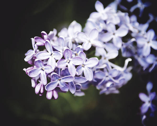 Lilac Poster featuring the photograph Calming Lilac by Alisa Andersen