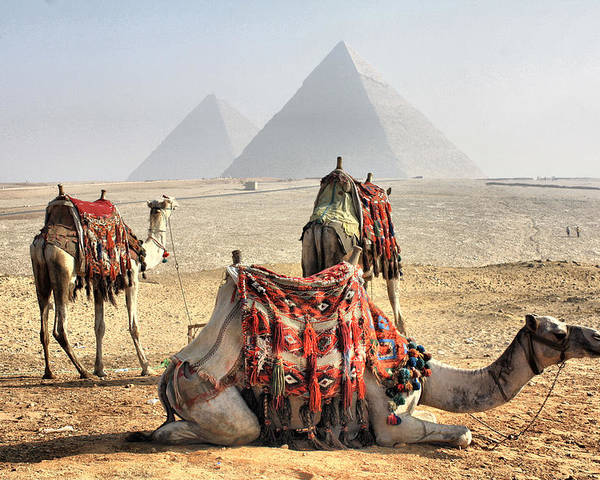 Horizontal Poster featuring the photograph Camel And Pyramids, Caro, Egypt. by Oudi