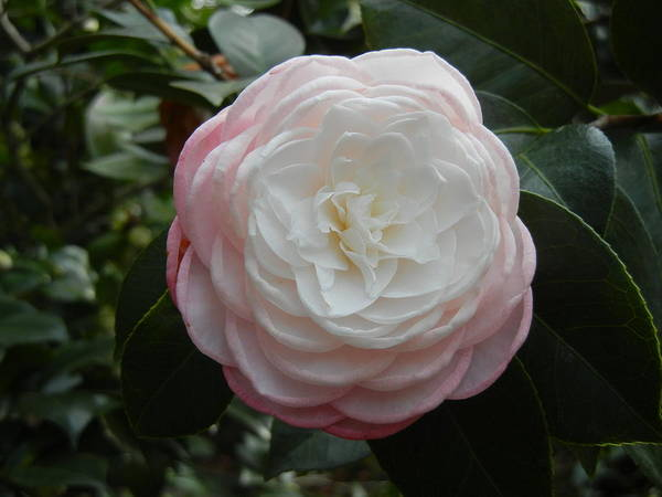 Camellia Poster featuring the photograph Camellia by M S