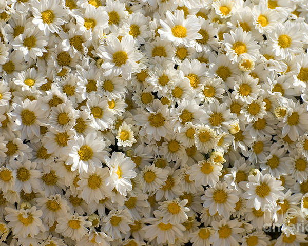 Flowers Poster featuring the photograph Camomiles by Elena Kotliarker