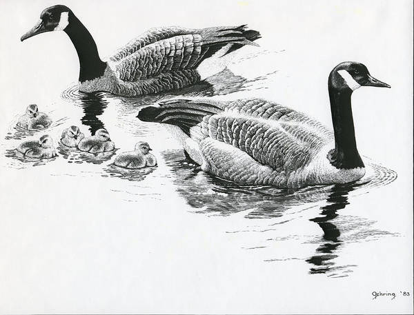 Ducks Poster featuring the drawing Canada Geese by Bill Gehring