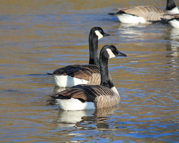 Canada Goose (branta Canadensis) Water Ripples Pair Two Geese Poster featuring the photograph Canada Geese by Henry Hemming