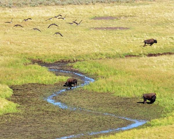 Horizontal Poster featuring the photograph Canadian Geese And Bison, Yellowstone by Brian Bruner