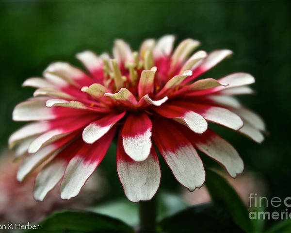 Garden Poster featuring the photograph Candy Color Zinnia by Susan Herber