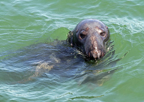 Seal Poster featuring the photograph Cape Cod Harbor Seal by Juergen Roth