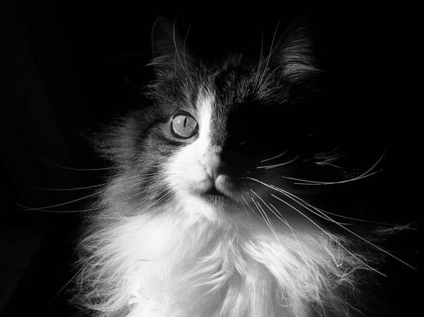 Black & White Poster featuring the photograph Captivated Cat - A Tribute by Chantal PhotoPix
