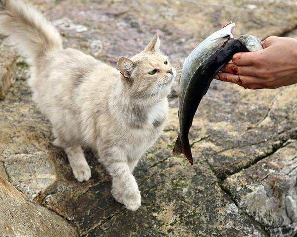 Animal Poster featuring the photograph Cat Being Fed A Fish by Bjorn Svensson