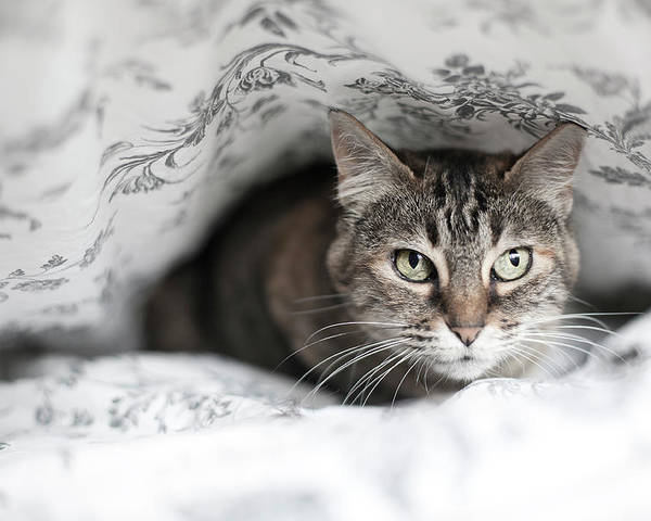 Horizontal Poster featuring the photograph Cat Under In Blankets by Image taken by Mayte Torres