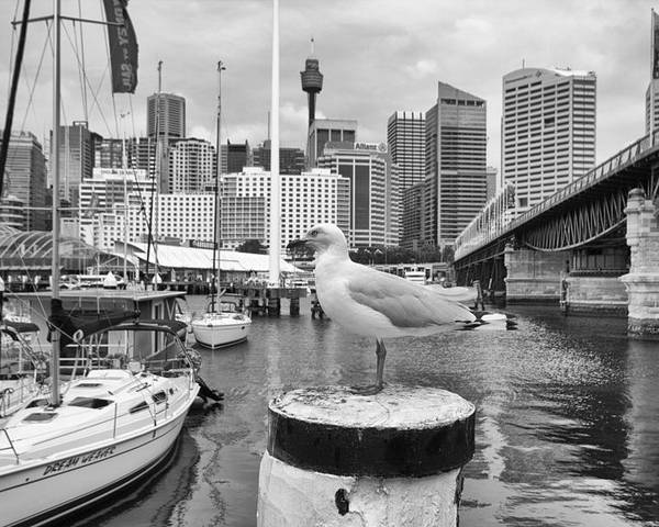 Seagull Poster featuring the photograph Center Of Attention by Douglas Barnard