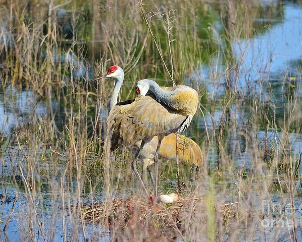 Sandhill Crane Poster featuring the photograph Changing Of The Guards 2 by Lynda Dawson-Youngclaus