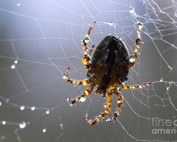 Spider Poster featuring the photograph Charlottes Little Friend by Bob Christopher