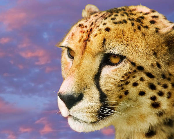 Acinonyx Jubatus Poster featuring the photograph Cheetah by Power And Syred