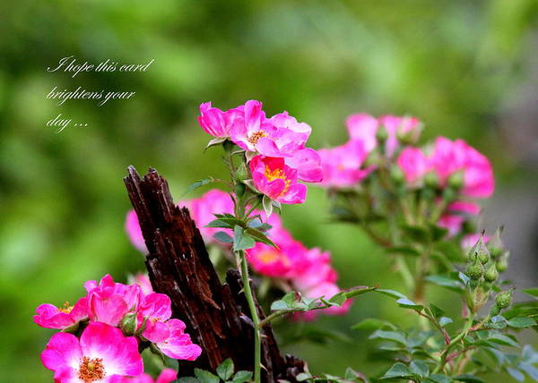 Flower Poster featuring the photograph Cherokee Rose Card - Flower by Travis Truelove