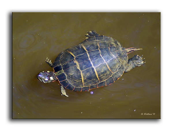2d Poster featuring the photograph Chester River Turtle by Brian Wallace