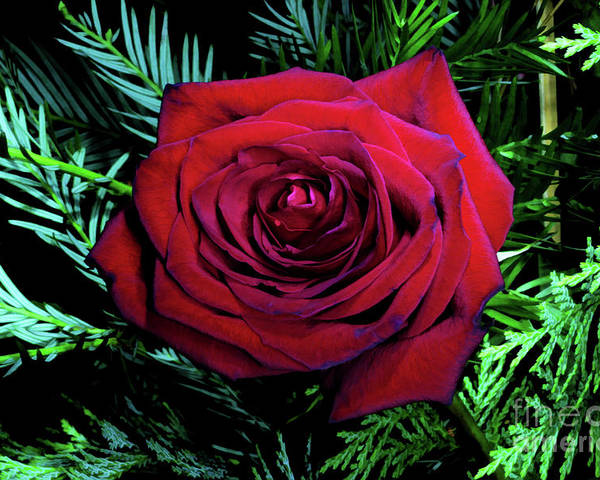 Unique Poster featuring the digital art Christmas Rose by Mariola Bitner