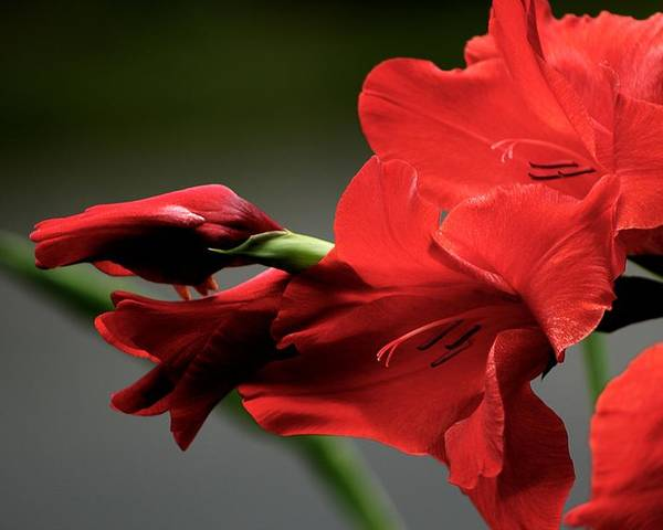 Flower Poster featuring the photograph Chromatic Gladiola by Deborah Crew-Johnson