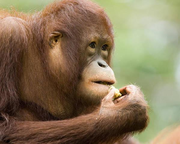 One Animal Poster featuring the photograph Close-up Of An Orangutan Pongo Pygmaeus by Tim Laman