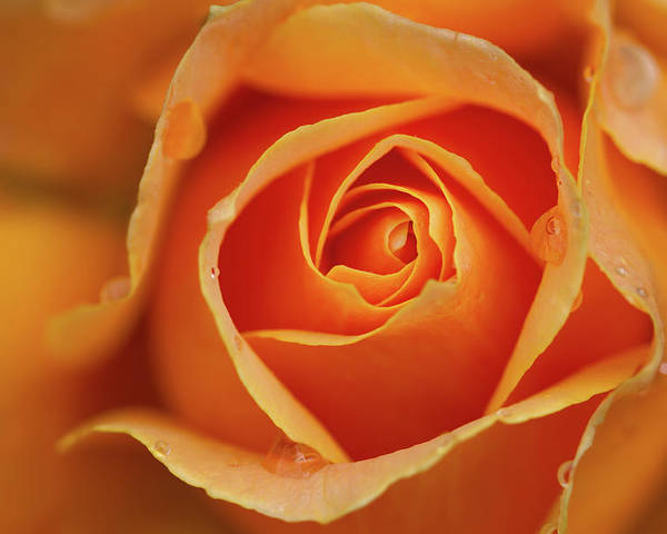 Horizontal Poster featuring the photograph Close Up Of Rose by Junichi Ishito