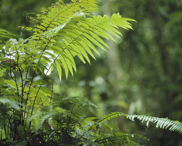 Plants Poster featuring the photograph Close View Of Ferns In A Papua New by Klaus Nigge