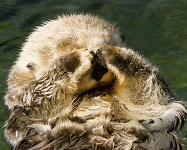 Cute Photographs Poster featuring the photograph Closeup Of A Captive Sea Otter Covering by Tim Laman