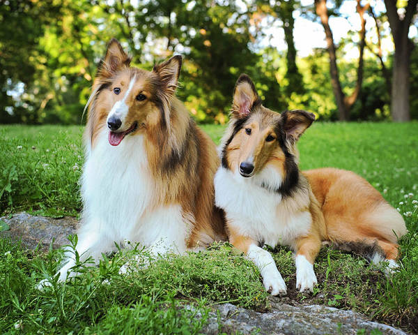 Dog Poster featuring the photograph Collie Sisters by Kelley Nelson