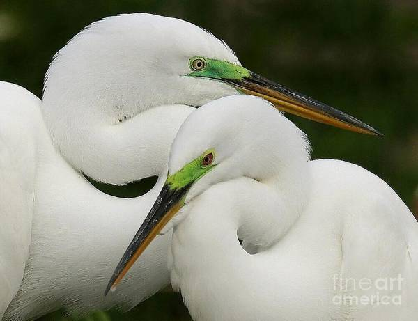 Birds Poster featuring the photograph Colorful Couple by Myrna Bradshaw