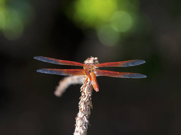 Dragonfly Poster featuring the photograph Colorful Dragon by Tim North