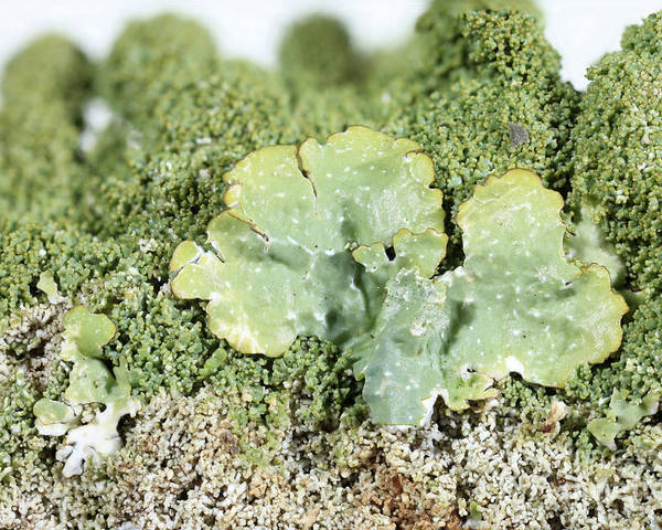 Common Greenshield Poster featuring the photograph Common Greenshield Lichen by Ted Kinsman