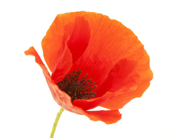 White Background Poster featuring the photograph Common Poppy Flower by Fabrizio Troiani