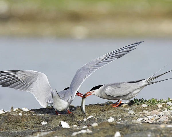 Sterna Hirundo Poster featuring the photograph Common Terns by Duncan Shaw
