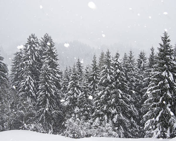 Mp Poster featuring the photograph Coniferous Forest In Winter, Alps by Konrad Wothe