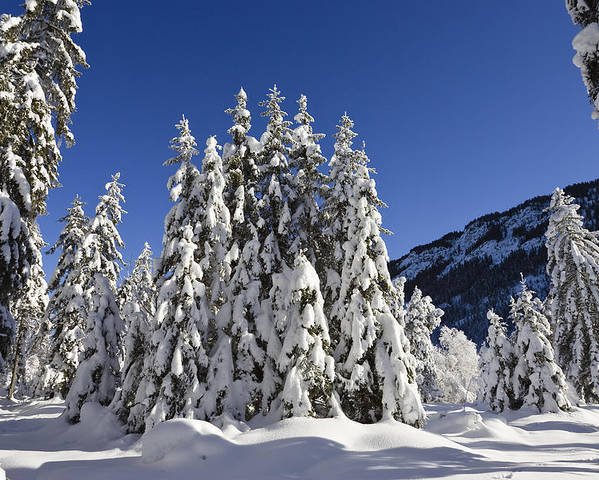 Mp Poster featuring the photograph Coniferous Forest In Winter by Konrad Wothe