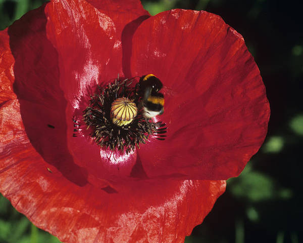 Papaver Rhoeas Poster featuring the photograph Corn Poppy Flower by Dirk Wiersma
