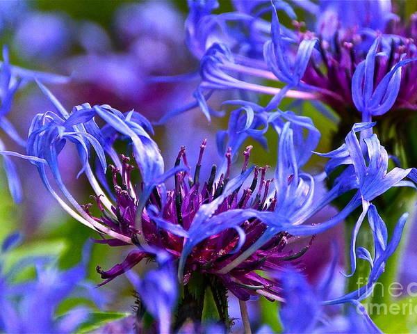 Centaurea Montana Poster featuring the photograph Cornflower Color by Byron Varvarigos