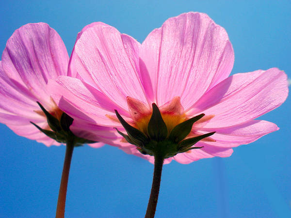 Flower Poster featuring the photograph Cosmia Flowers Pair by Sumit Mehndiratta