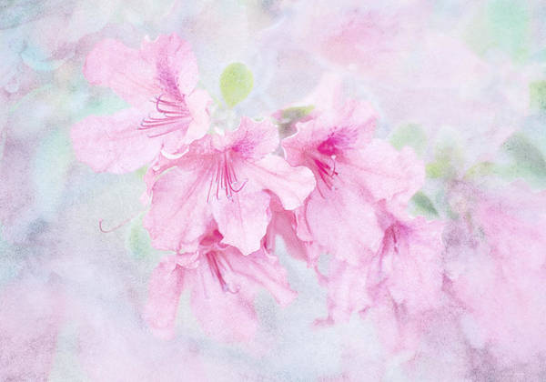 Floral Poster featuring the photograph Cotton Candy by Brenda Bryant